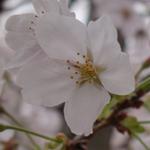 桜が咲く哲学の道(京都市左京区)を歩いたら桜のじゅうたんができていた