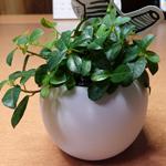 デスクの上が寂しいので無印良品で観葉植物を買ってみた