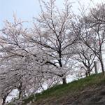 岡山・井原堤の満開の桜を撮影 桜のトンネルと花吹雪が圧巻だった