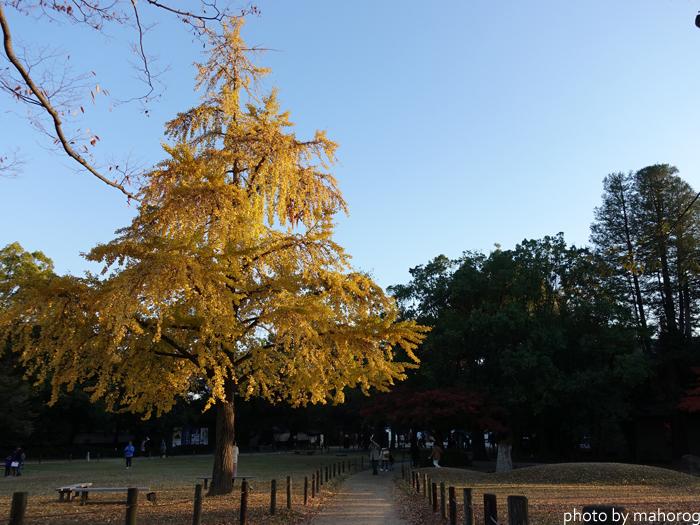 岡山後楽園の正門前のイチョウ